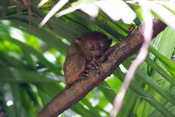 菲律宾超实用热带岛屿旅游美食行程攻略之眼镜猴