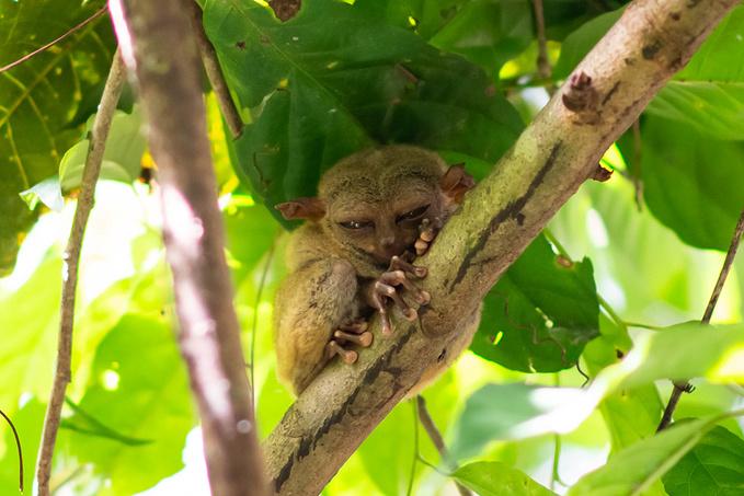 菲律宾超实用热带岛屿旅游美食行程攻略之眼镜猴保护区