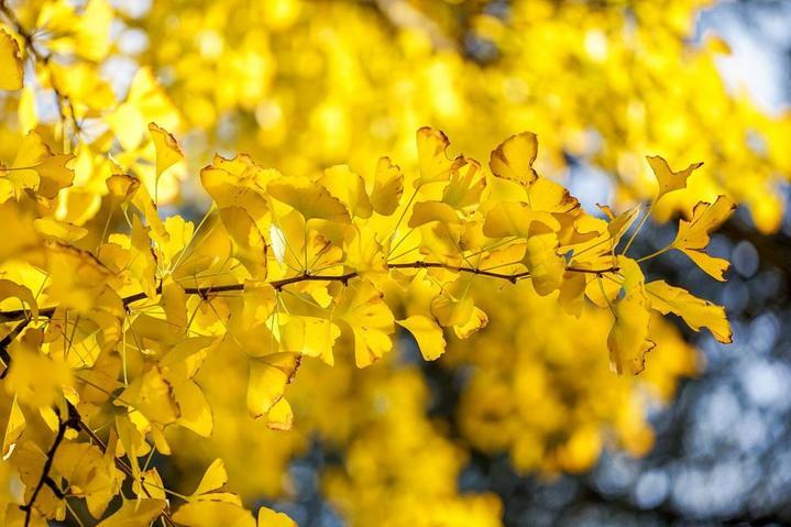 四川成都网红美食旅游打卡全攻略之银杏叶也黄了