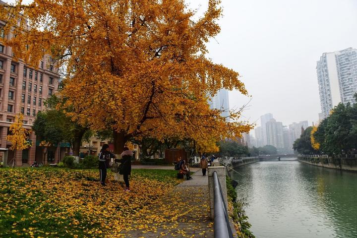 四川成都网红美食旅游打卡全攻略之锦江边的银杏树