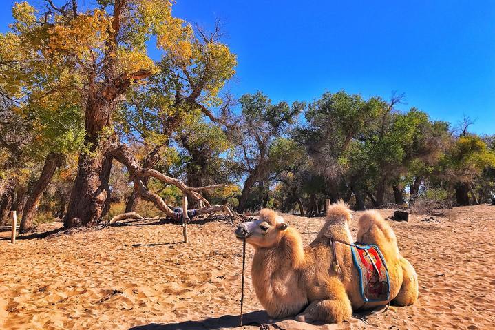 内蒙古大漠明珠额济纳旗自由行超实用游行程攻略之胡杨林